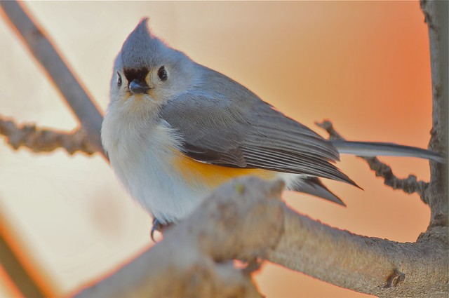 Tufted Titmouse perched so sweet