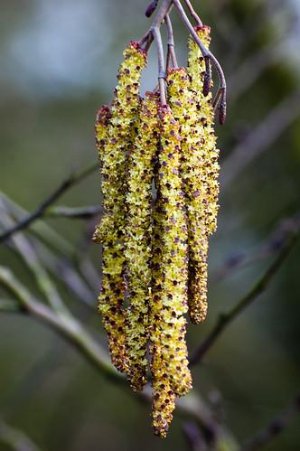 Hybrid black-poplar catkins