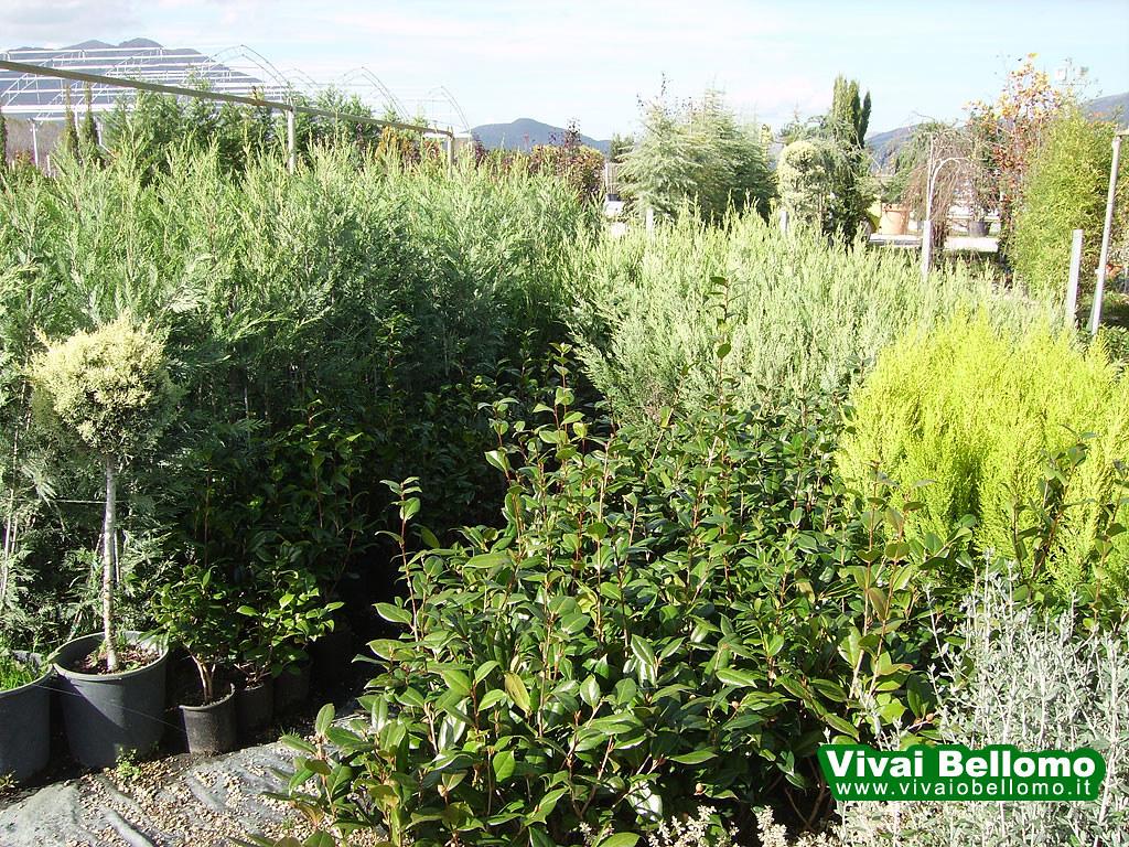 Piante Da Siepi Immagini piante da siepe lailand - vivai bellomo   produzione e vendi