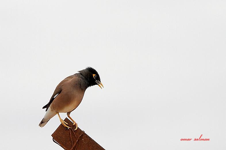 طائر المينا