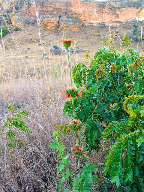 Plante indéterminée (madagascar) NEED HELP FOR ID