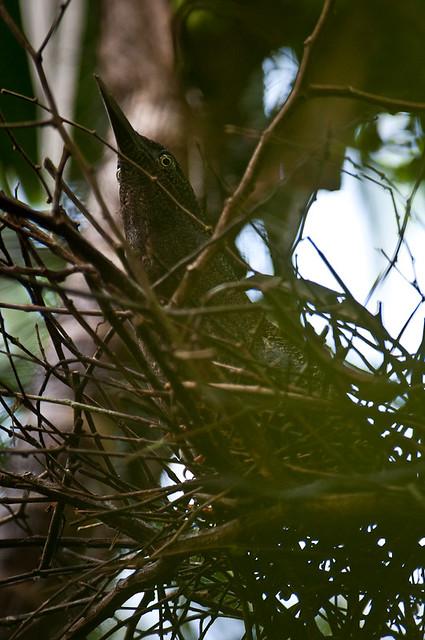 Zigzag Heron