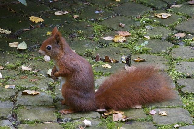 Eekhoorn Squirrel
