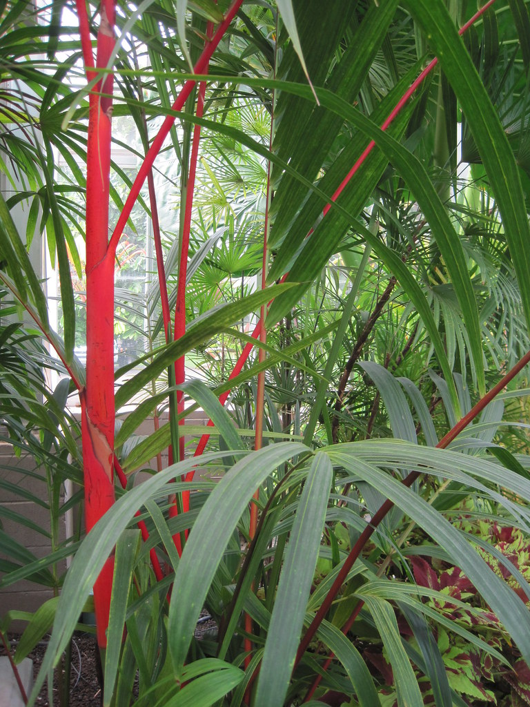 Red stems of lipstick or sealing wax palm (Cyrtostachys renda)