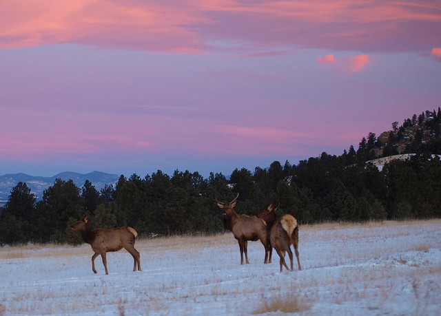 EARLY MORNING ELK