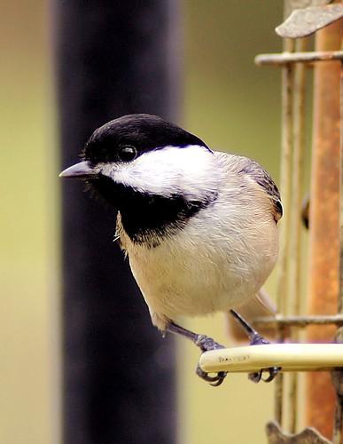 chickadee | by midgetinvasion