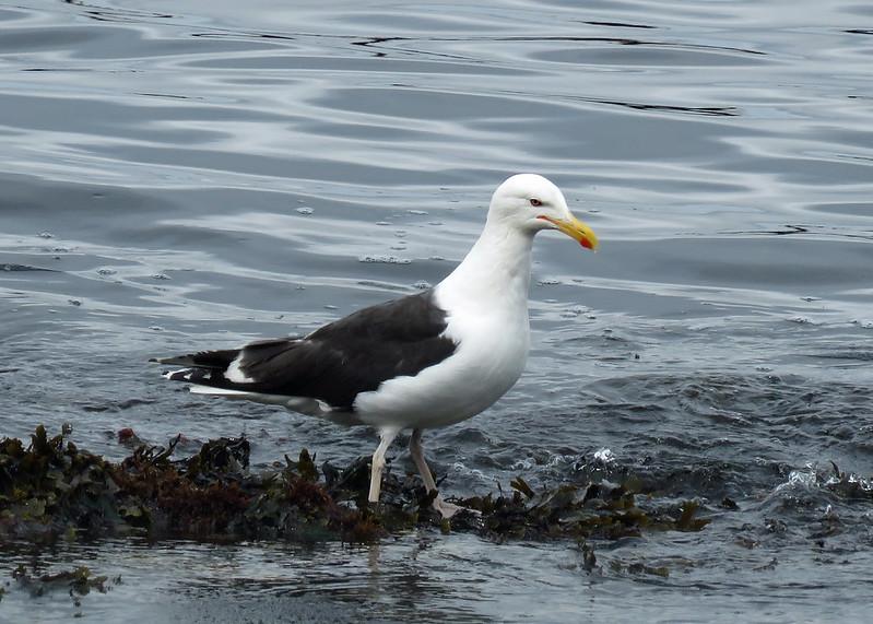 Great Black-backed Gull - Larus marinus