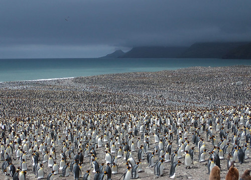 King-penguin-rookery-St-Andrews-Bay