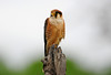 Red-necked Falcon  (Falco chicquera) - Sub adult by Ian N. White
