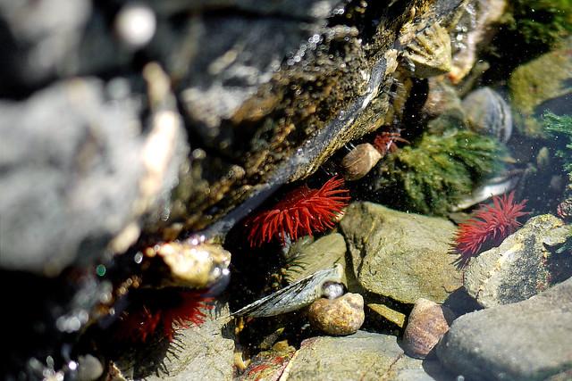 Anemones & Winkles in a Rock Pool