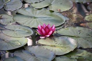 Lotus | by PAtman2520