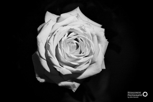 32/365 White Rose | by Hexagoneye Photography