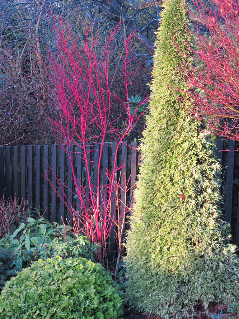 The Coral Bark Stems Of Acer Palmatum Eddisbury Did Not Flickr