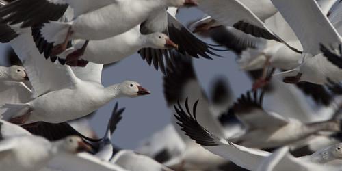 kh0831 alpha naturesfinest slbflying bird 2011 aquaticbird nj