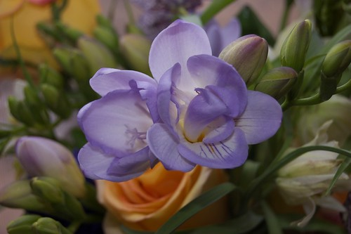 Freesia | by hurley.k.e