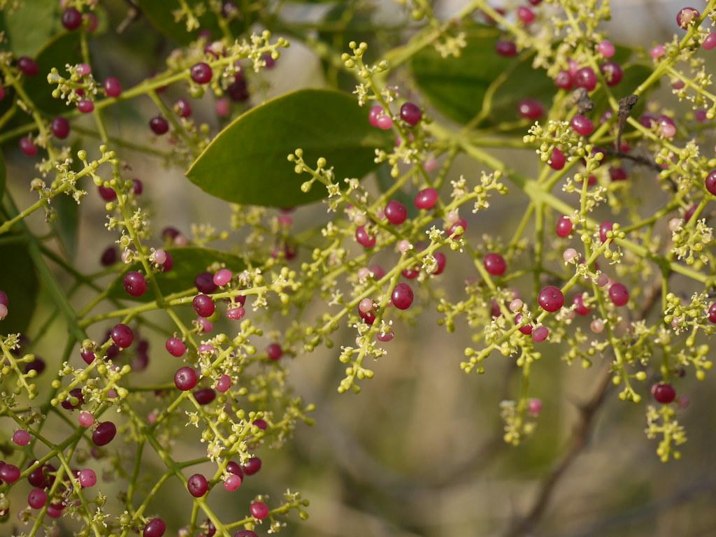 Gunnangi (Telugu: గున్నంగి) | Salvadoraceae » Salvadora pers