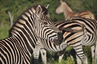 Zebra   by ferkel