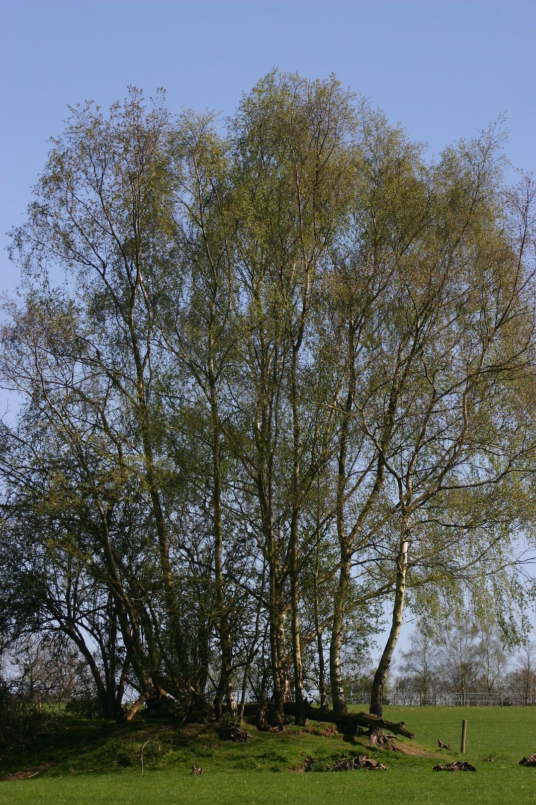 Birchy clump