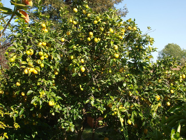 K4147030 Eureka lemon tree