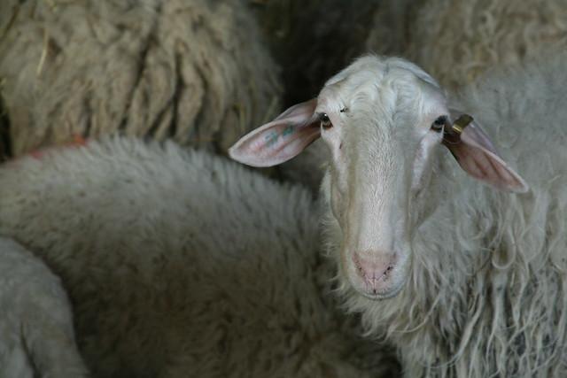 Silvio Pistone's sheep