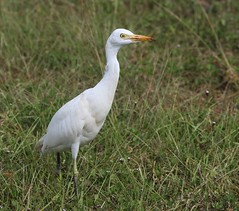 Cattle Egret, Shark Valley, Everglades NP, FL