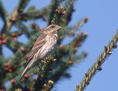 Purple Finch, Milton Loop, Mahoning Reservoir, Armstrong Co.