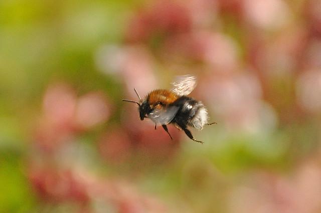 Tree Bumblebee (Bombus hypnorum) in flight.