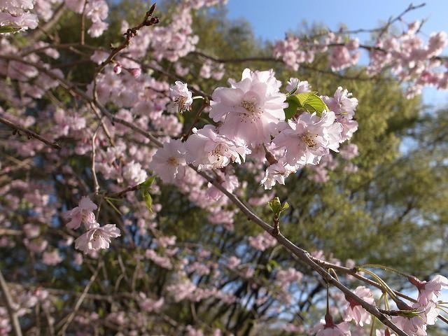 <p>f)八重桜</p>