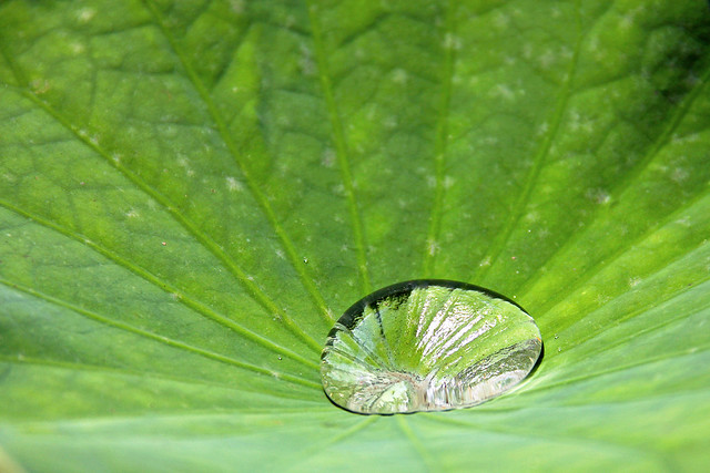 Mauritius - giant water drop in a lotus leaf in the Pamplemousses Botanical Garden