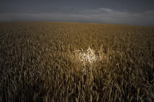 hayfield wheatfield 241054l חיטה eos7d שדהחיטה avimorag אבימורג