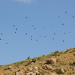 A chattering of Red Billed Choughs