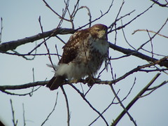 Red-tailed Hawk, Grimsby, ON, Canada