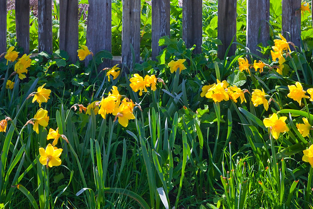 Mendocino Daffodils and Rustic Fence