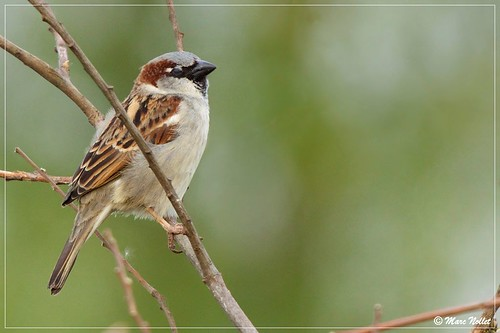 Passer domesticus - House Sparrow | by Marc Nollet
