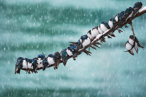 Seemingly Surreal Swallows in a Spring Snowstorm | by kdee64