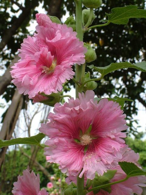 10那裏的蜀葵品種及花色都多