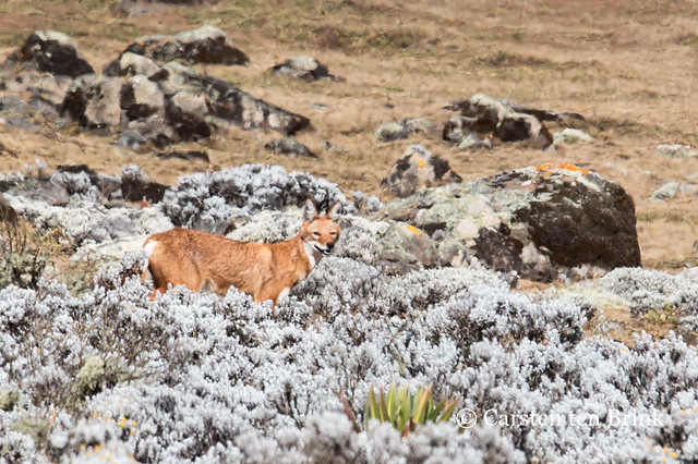 The Ethiopian wolf and its hunt for the giant mole rat