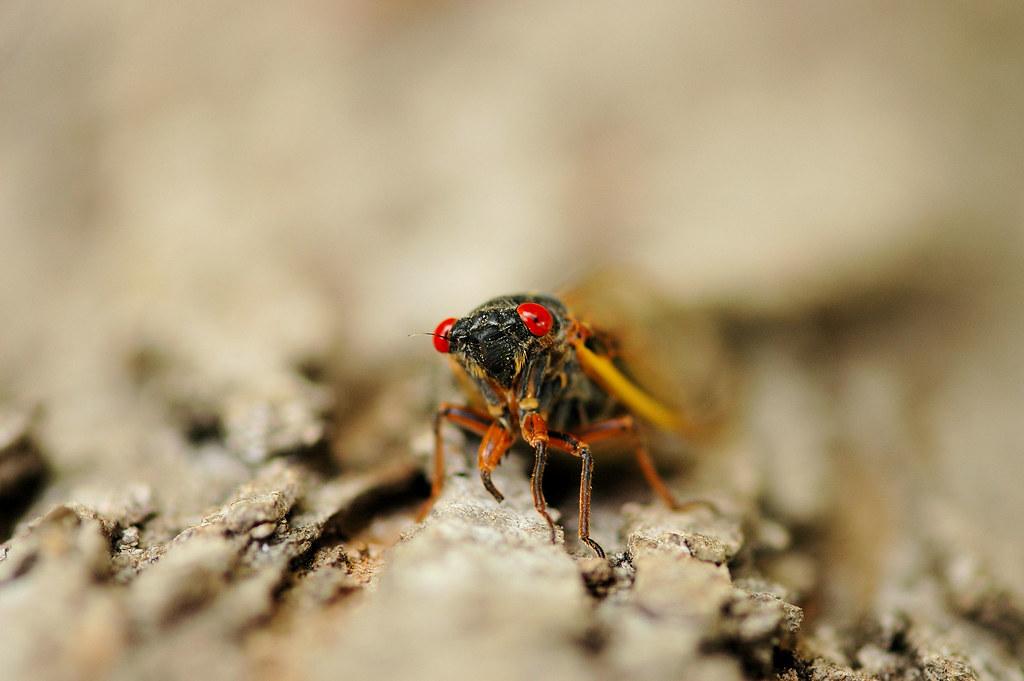 cicada head on