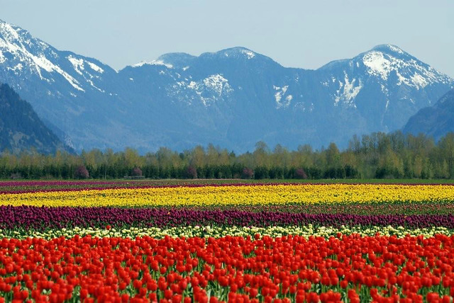 Spectacular Fraser Valley tulips