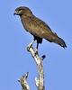 Brown Snake-eagle (Circaetus cinereus) by Arno Meintjes Wildlife