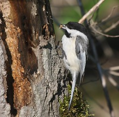 Black-capped Chickadee, Keystone Reservoir, Armstrong Co.