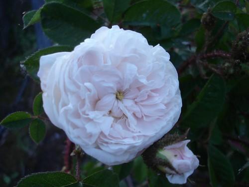 rosa Blanche Moreau | by Apua