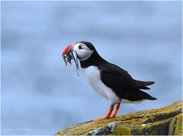 Puffin-with-fish_0379-1