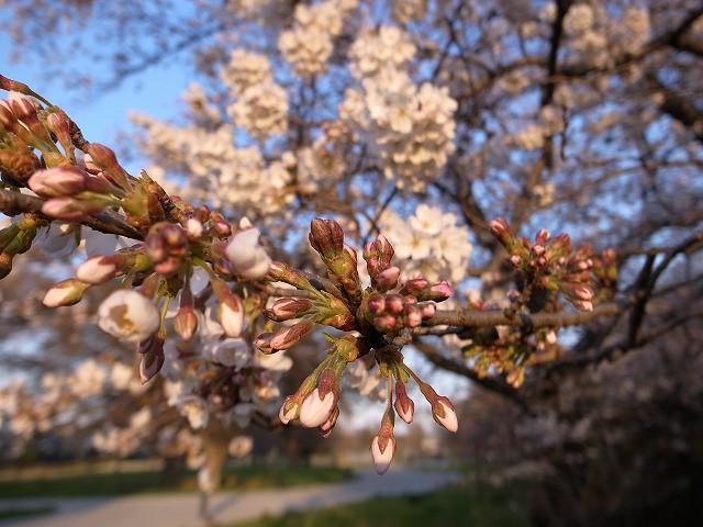 <p>c)明日には開くね!きれいに咲くね!</p>