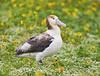Short-tailed Albatross by J Gilbert