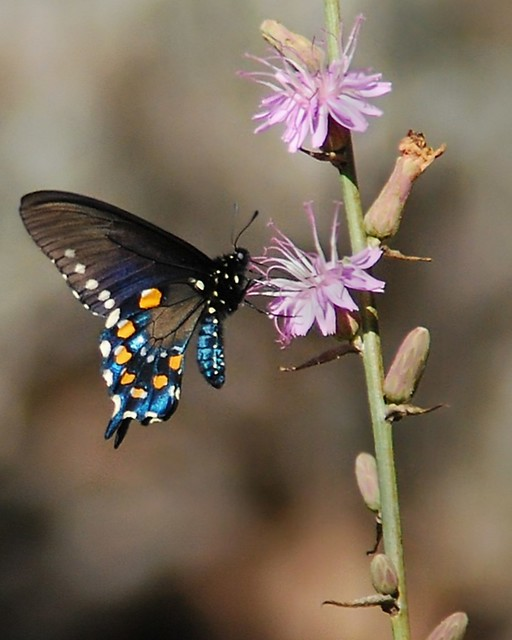 Pipevine underwing colors