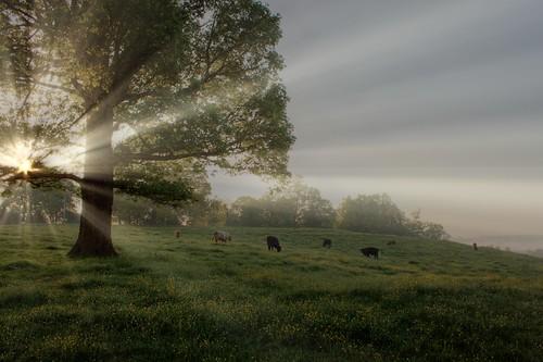 sky fog clouds sunrise cow cows northcarolina pasture calf hdr sunbeams calves buttercups photomatixpro handheldhdr iredellcountync canoneosrebelt1i coolspringsnc