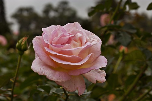 Pink Rose | by Jack Zalium