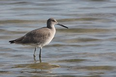 Willet, Honeymoon Island Causeway, FL