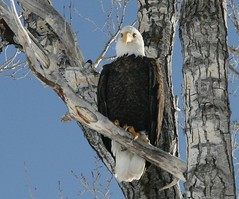 Bald Eagle, National Elk Refuge, Jackson, WY